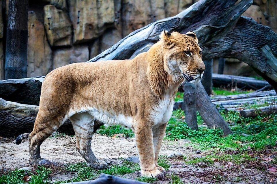 Ligre – Principais características do animal híbrido de leão e tigre