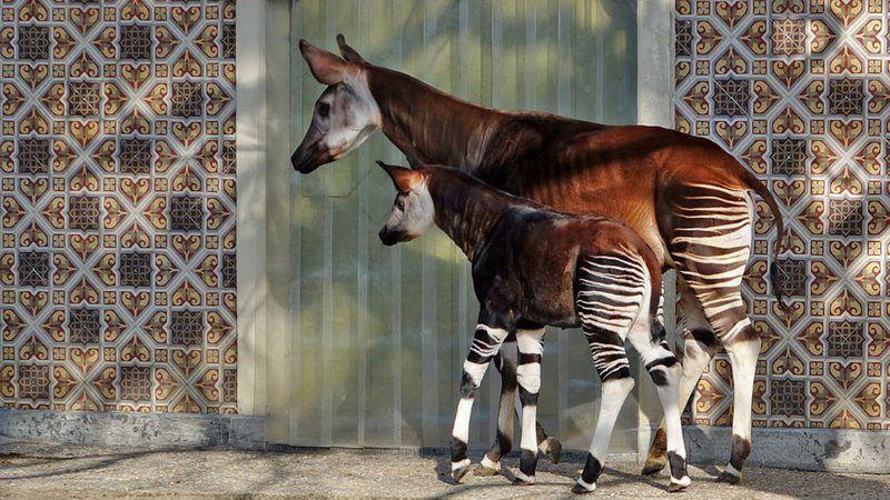 Ocapi, o que é? Características e curiosidades do parente das girafas