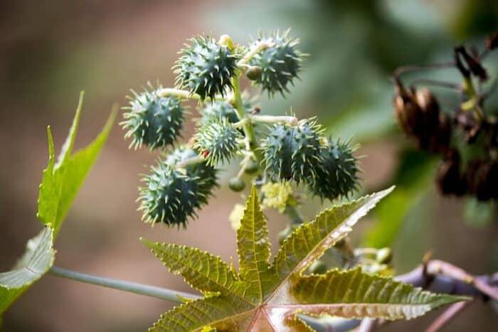 Plantas Venenosas: definição, espécies e níveis de toxicidade