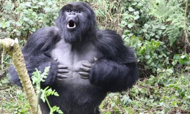 Por que os gorilas batem no peito? Explicação científica