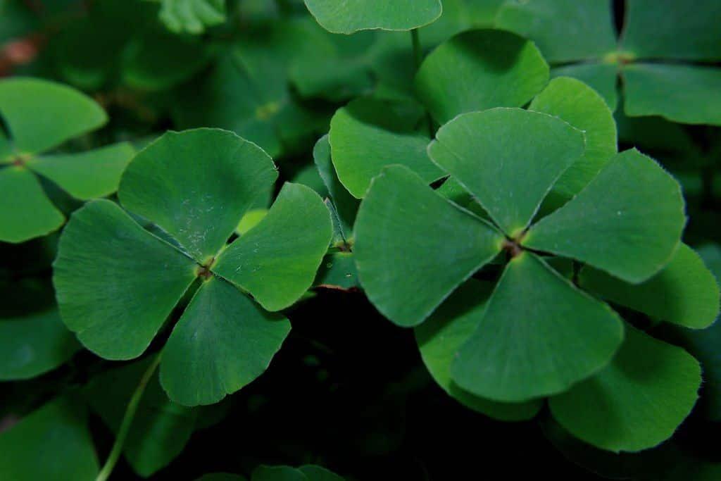 Trevo da sorte - história e curiosidade sobre o trevo de quatro folhas