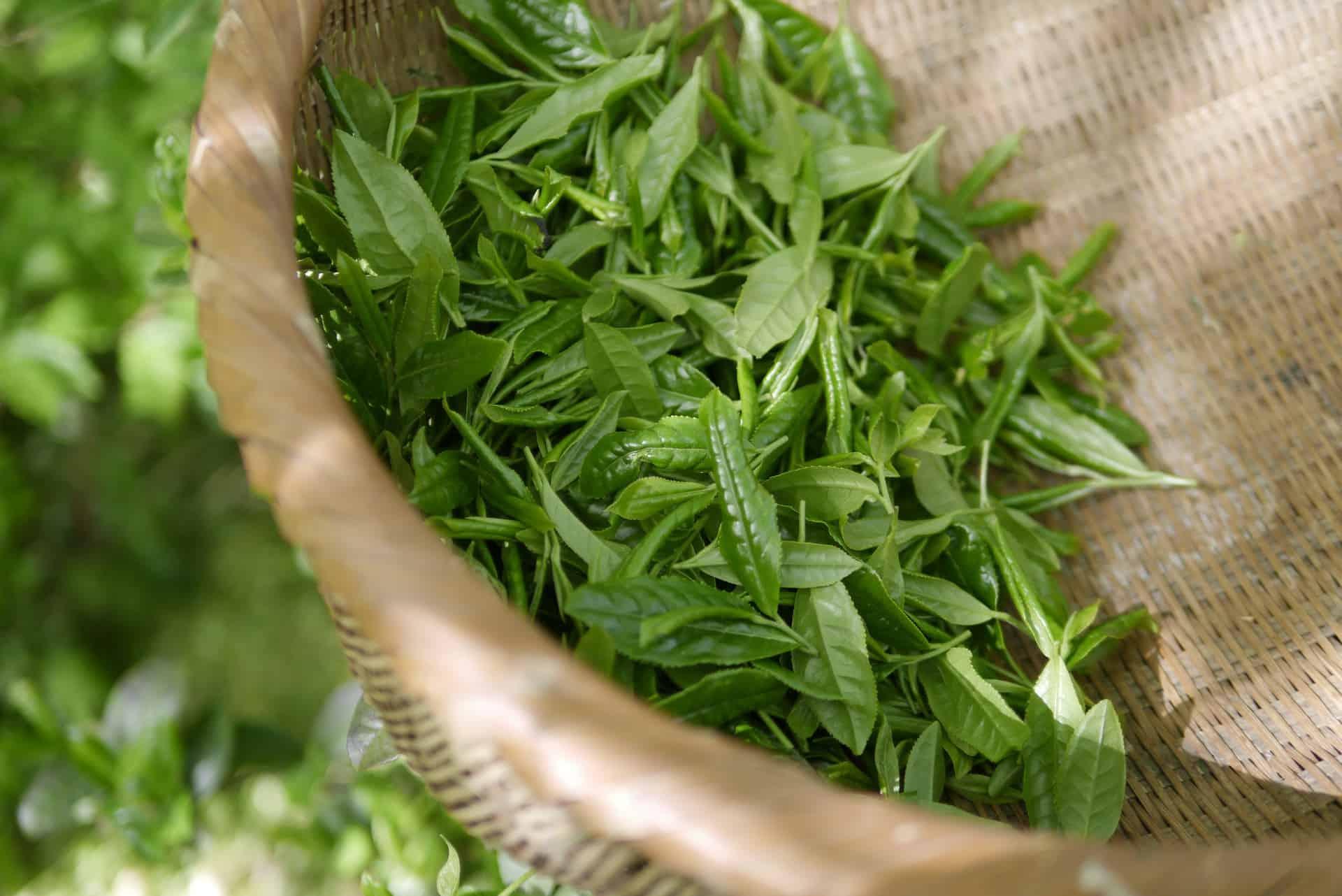 Fotografia de chá verde in natura para ilustração do item