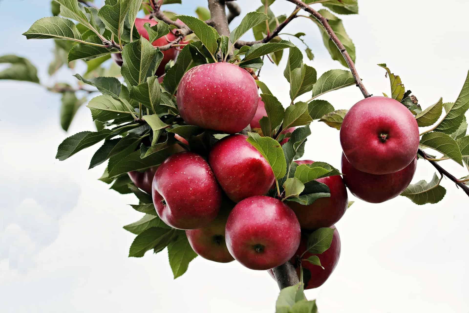 Fotografia de uma macieira para ilustração do item