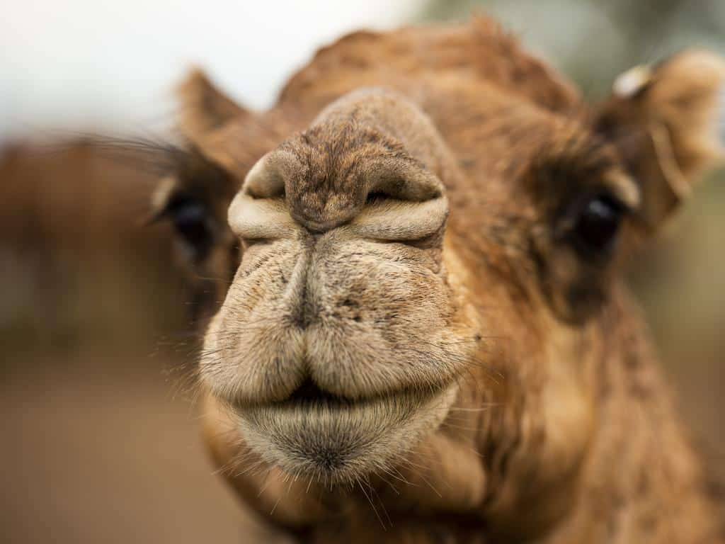 Camelo - principais características e função da corcova ao longo da vida