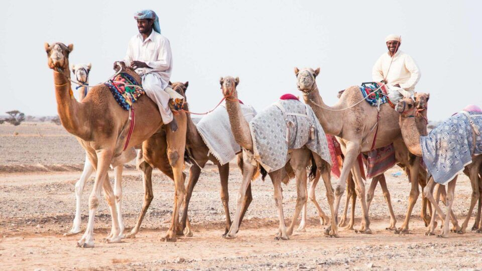 Camelo: principais características e função da corcova