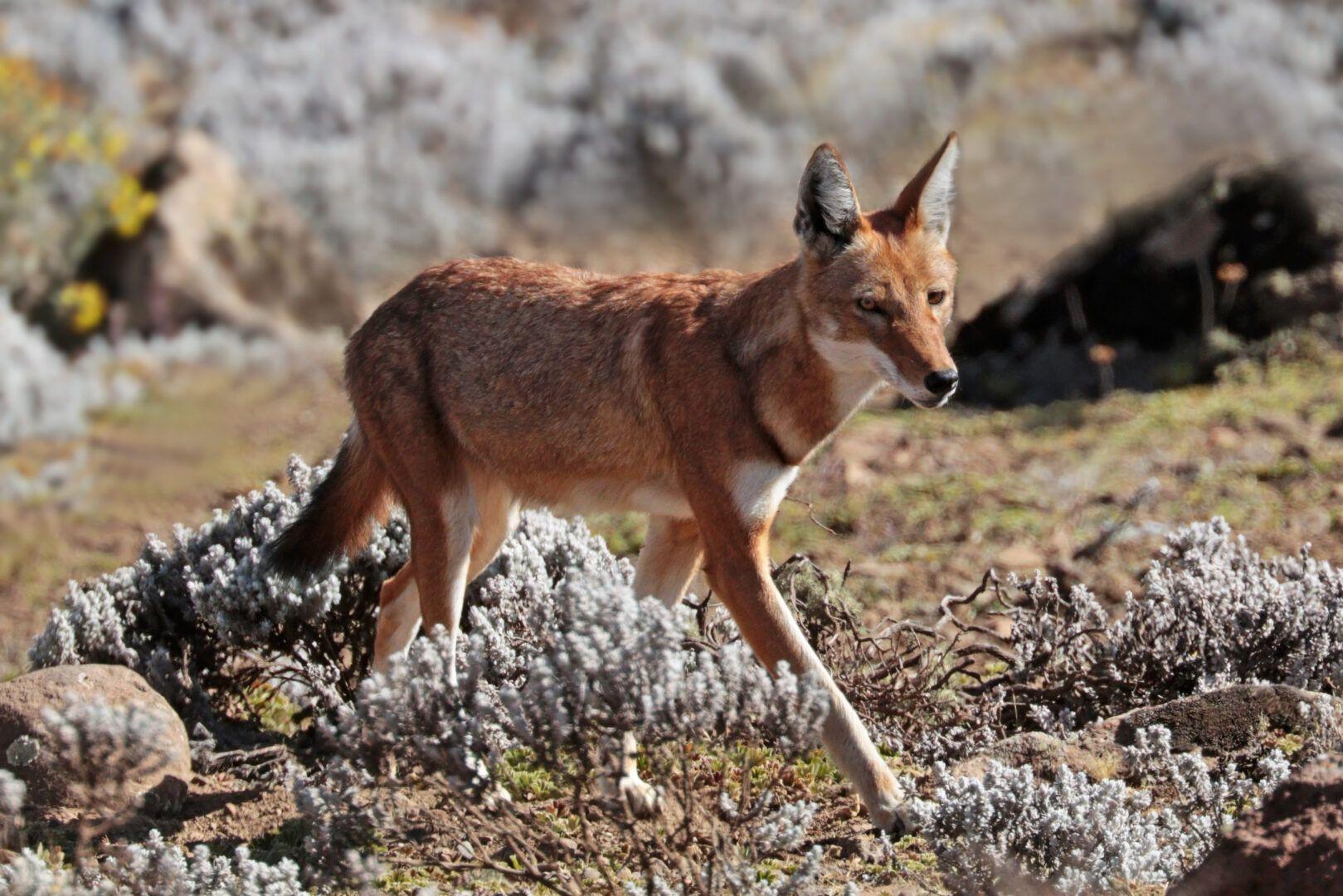Lobos - características, hábitos e principais variações da espécie