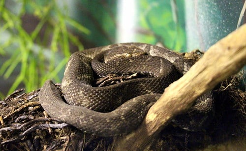 Cobras mais venenosas do Brasil: principais espécies conhecidas