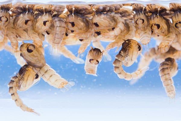 Quanto tempo vive um mosquito: ciclo de vida completo