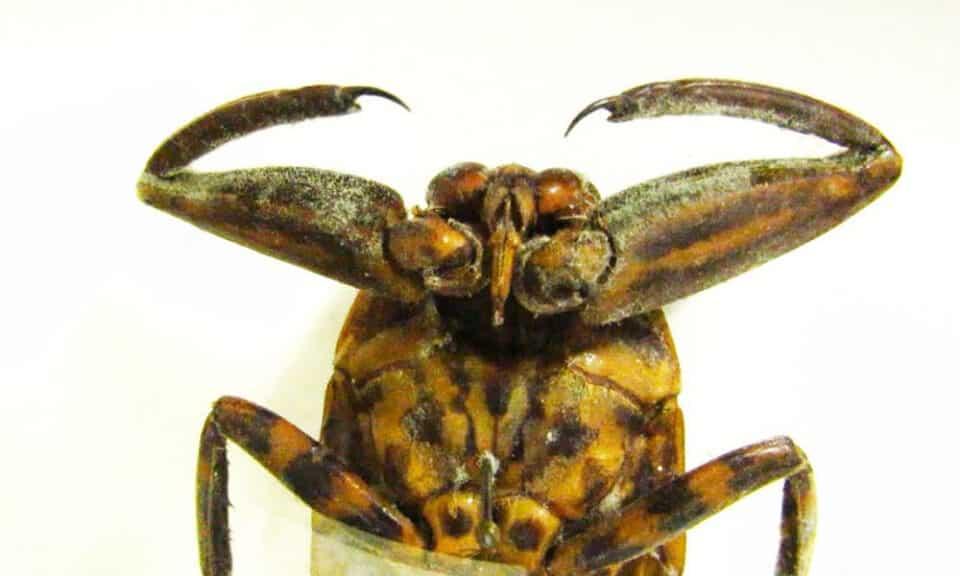 Barata d'água: animal gigante come desde tartarugas até cobras venenosas