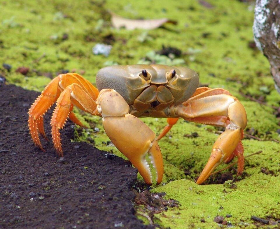 Caranguejo anda para trás: como ele se movimenta na verdade