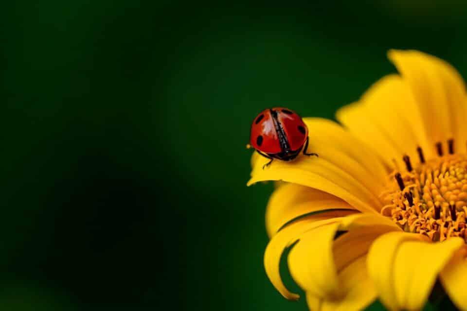 Curiosidades sobre as joaninhas e fatos que você não conhece