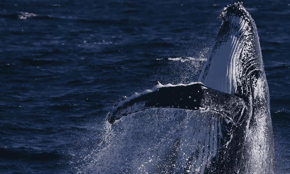 Homem sobrevive após ser totalmente engolido por baleia nos EUA