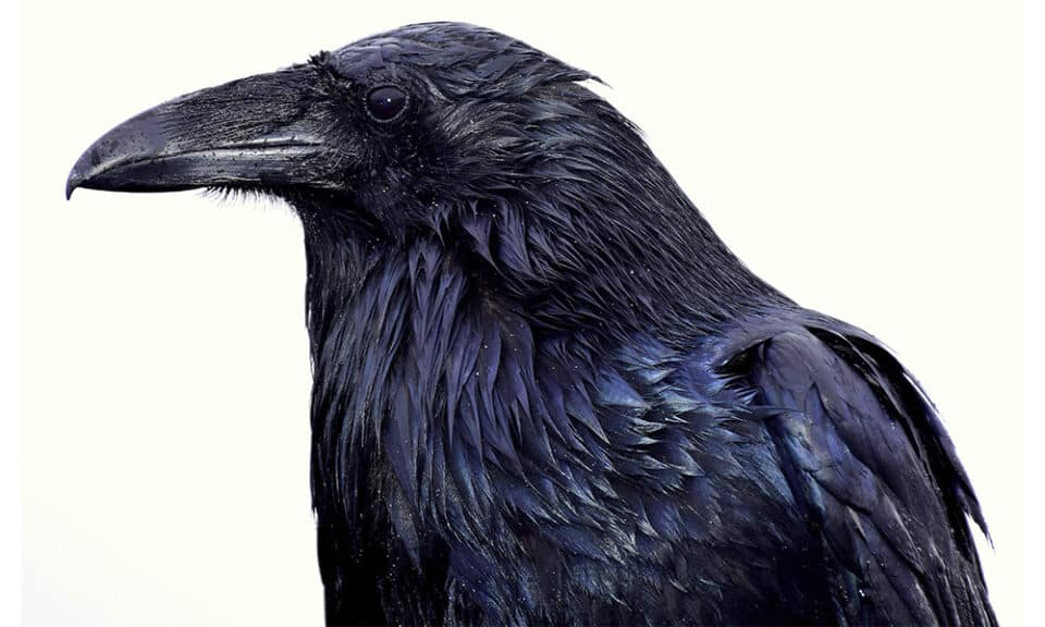 Significado do Corvo: conceito, simbolismo e mitologia