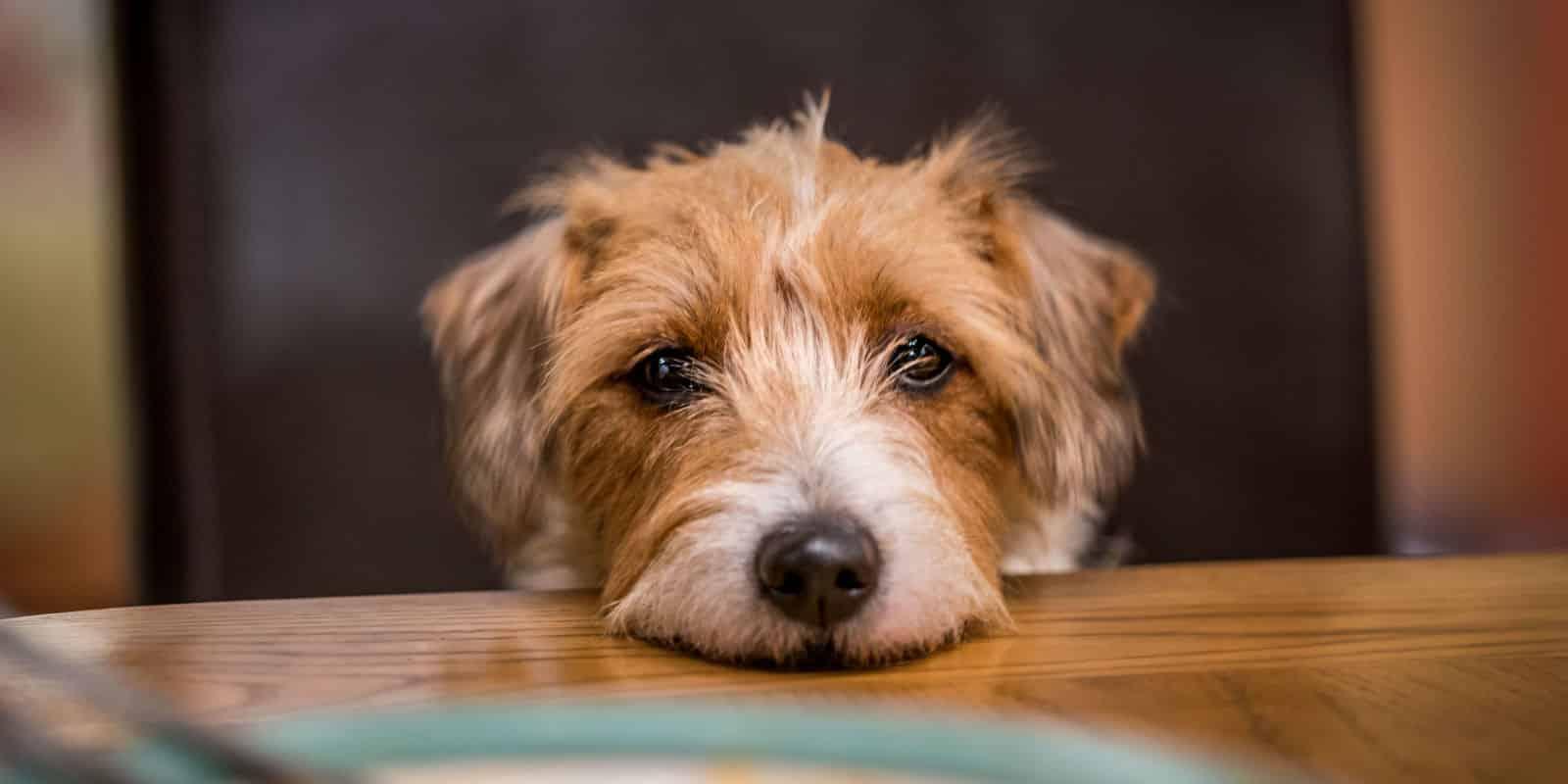 Cachorro pode comer gelatina? Dicas e informações sobre o consumo