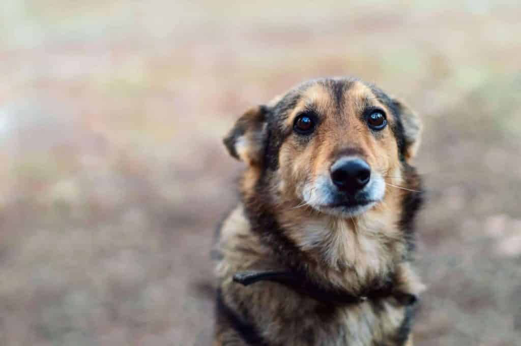 Cachorro tremendo: o que pode causar os tremores e como resolver