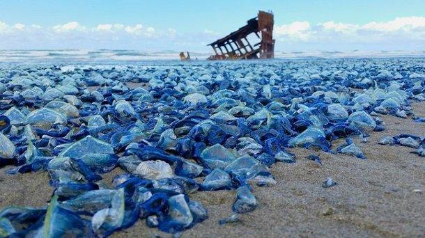 Caravela-portuguesa: um dos seres mais temidos dos mares
