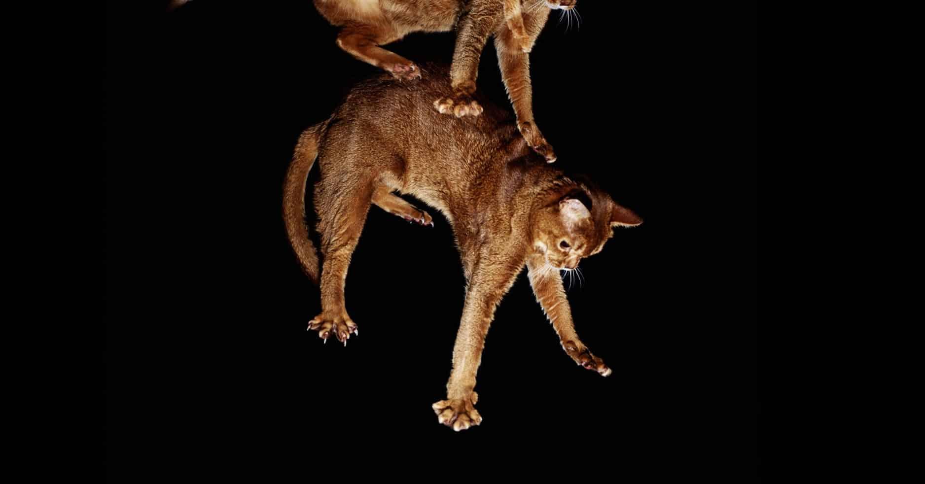 Entenda por que o gato cai em pé!
