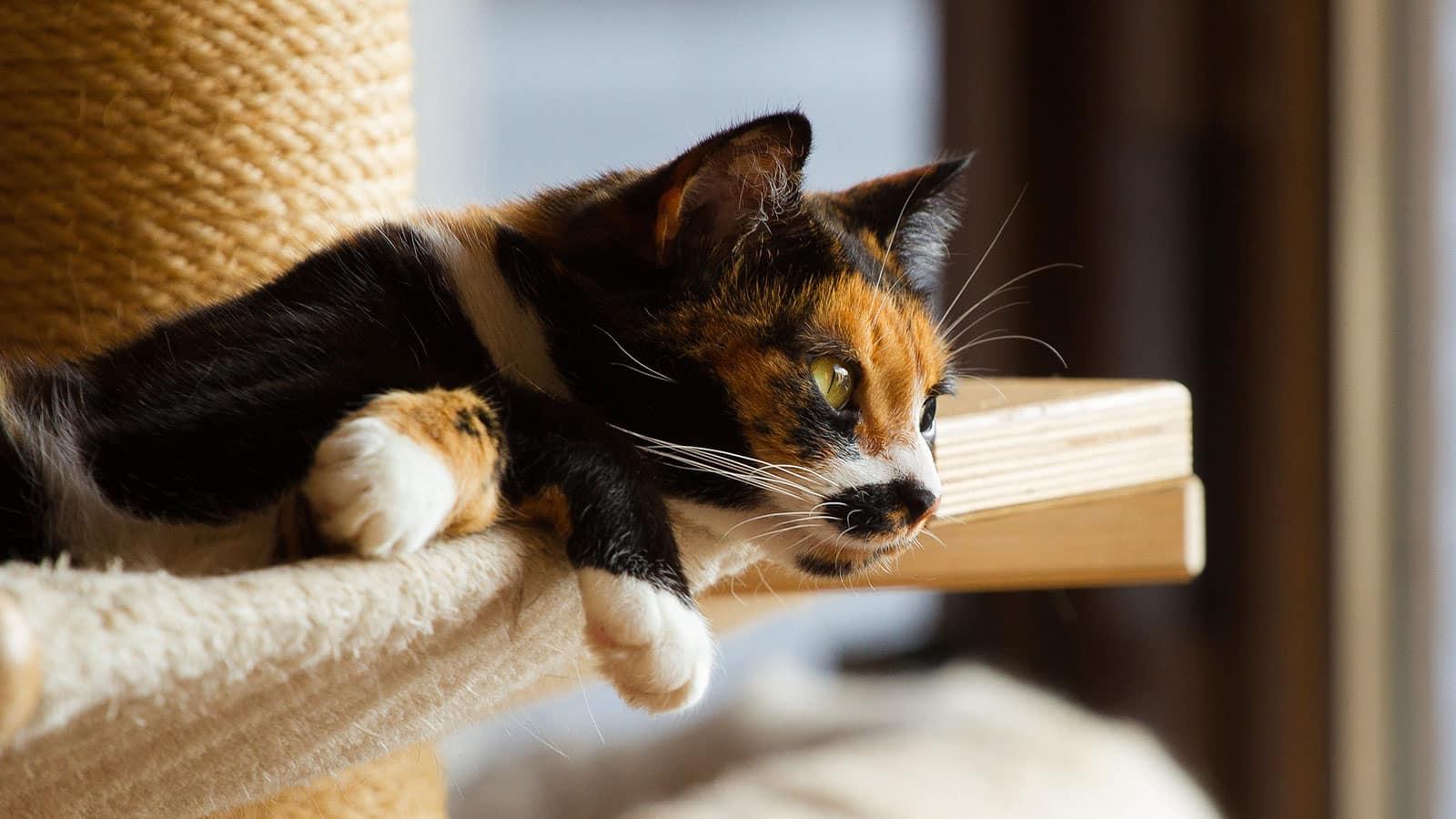 Gatos tricolores, o que são? Características, espécies e curiosidades