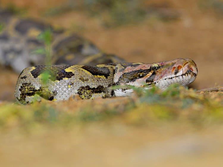 Fotografia de uma espécie reptiliana
