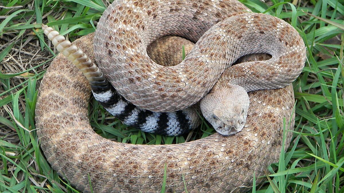 Maiores cobras do mundo, quais são? Espécies e curiosidades