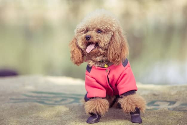 Menor cachorro do mundo, qual é? Espécies e curiosidades