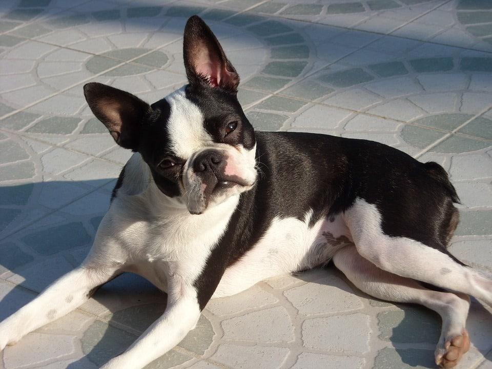 Fotografia do Boston Terrier