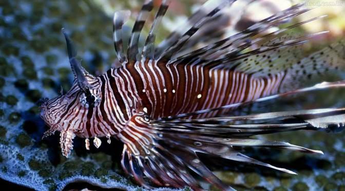 Peixe-leão: conheça a exuberante e temida espécie invasora