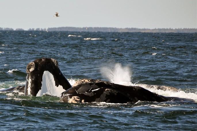 Qual é a maior baleia do mundo? Espécie e curiosidades