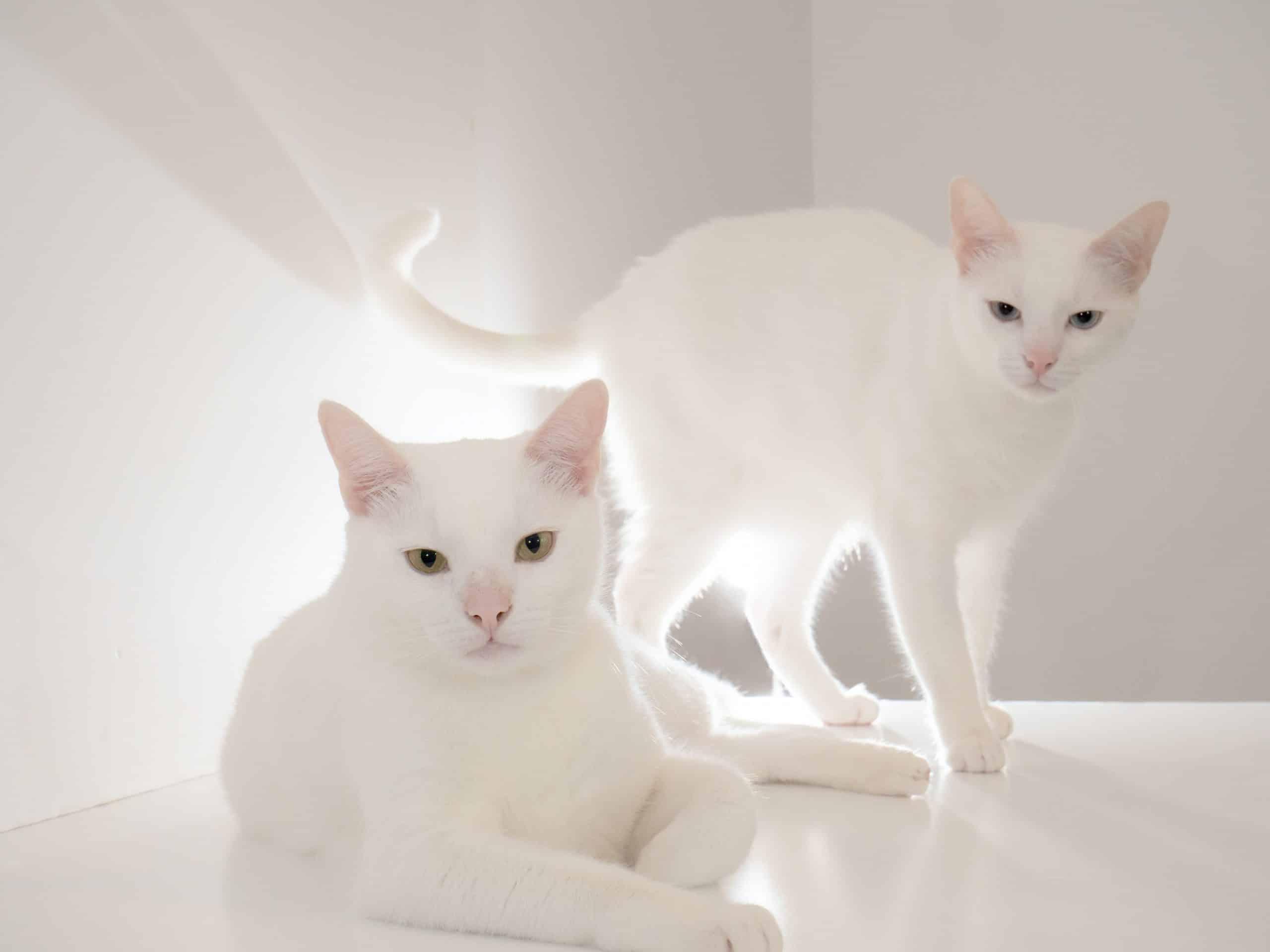 Raças de gatos brancos: conheça suas características e se apaixone