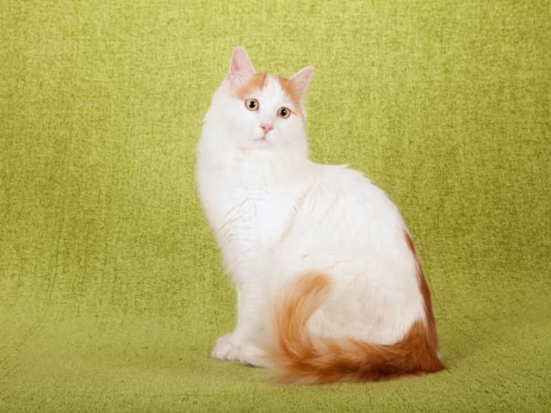 Raças de gatos gigantes, quais são? Características e espécies