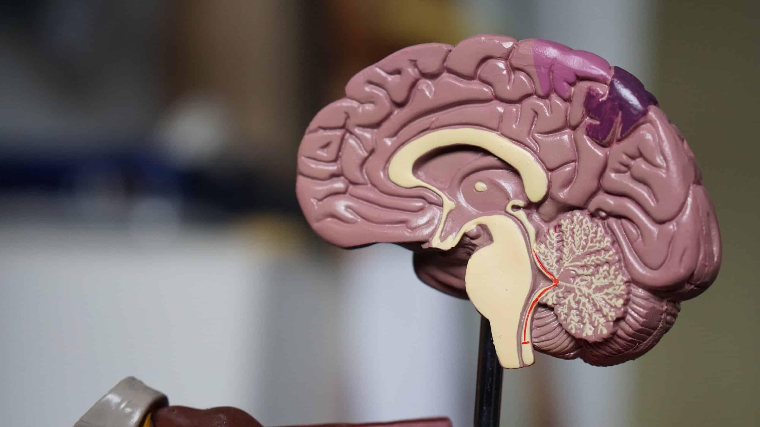 Tamanho do cérebro humano: como isso influencia a inteligência?